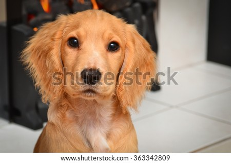 Cute cocker spaniel puppy sitting by the fire - stock photo