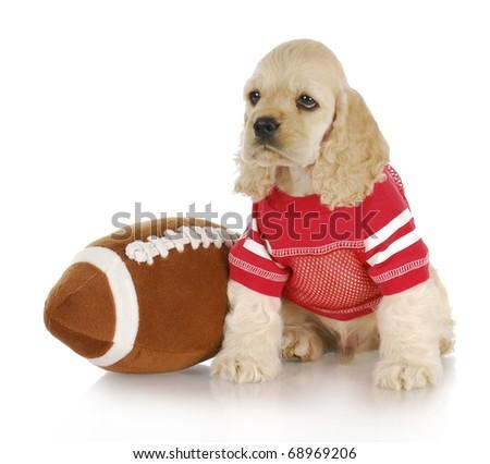 cute cocker spaniel puppy wearing football jersey sitting beside stuffed football - stock photo