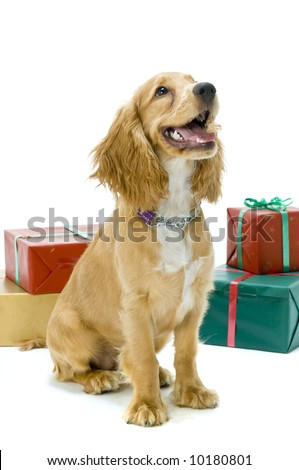 Cute cocker spaniel with presents in the studio - stock photo