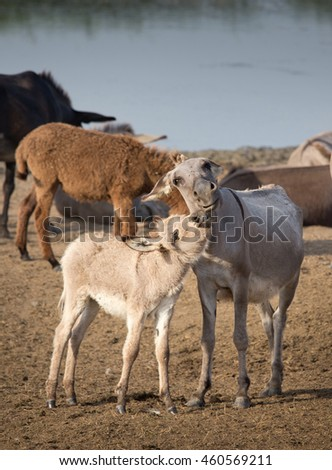 Cute colt kissing donkey near pond in summertime
