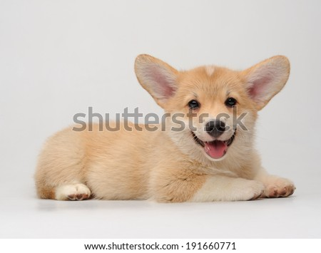 Cute Corgi puppy lying and smiling on the white background - stock photo