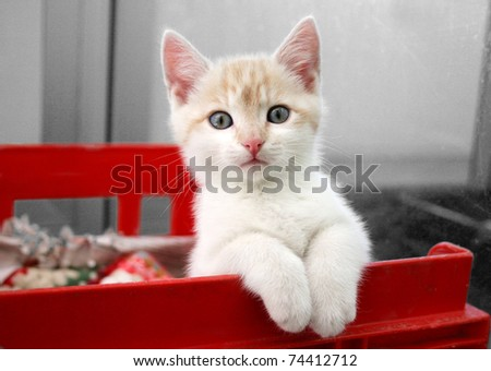 Cute cream and white kitten sitting watching from his pen - stock photo