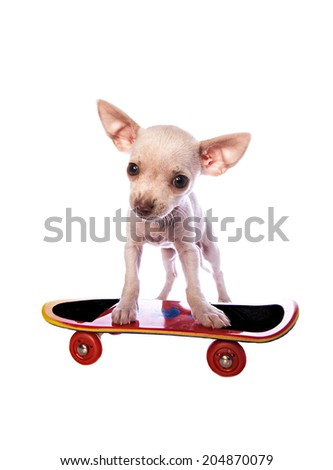 Cute cream color short haireChihuahua puppy on skateboard isolated on white background