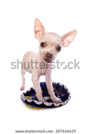 Cute cream color shorthaired Chihuahua puppy standing on little sombrero isolated on white background - stock photo