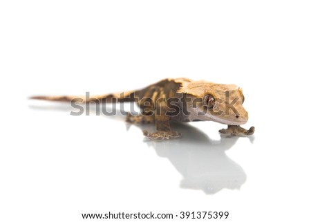 Cute Crested  gecko shot on white with a reflection - stock photo
