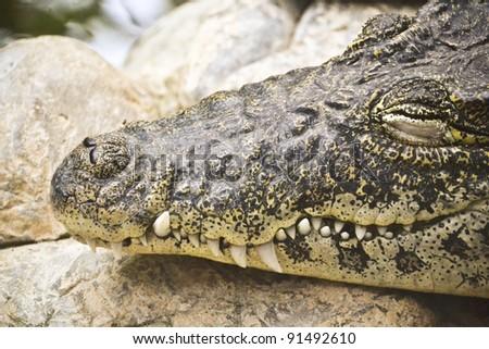 cute crocodile in the zoo - stock photo