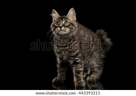 Cute crouched Kurilian Bobtail Kitty with Big Round eyes Curious Looking up, Isolated Black Background, Side view, Funny Cat Face, without tail - stock photo