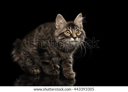 Cute crouched Kurilian Bobtail Kitty with Big Round eyes Curious Looking up, Isolated Black Background, Front view, Funny Cat Face, without tail - stock photo