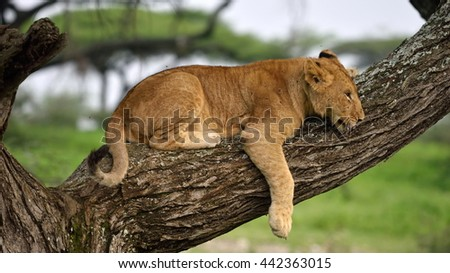 Cute cubs lions resting in african natural park - stock photo