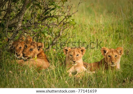 Cute cubs lions resting in the grass, Masai Mara, Kenya - stock photo