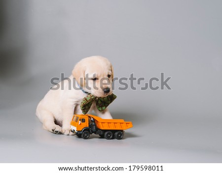 cute cuddly labrador retriever puppy wearing a bow tie in the photo studio and playing with a toy truck - stock photo