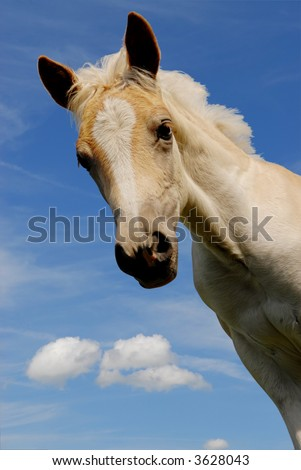 cute curious haflinger filly on a blue sky background - stock photo