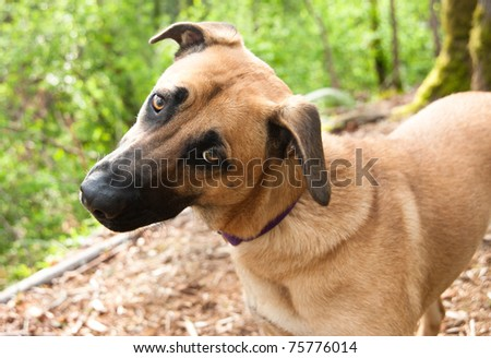 Cute Curious Shepherd Retriever Mix Dog - stock photo