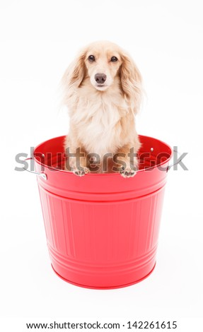 Cute dachshund dog that went into the bucket