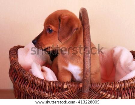 cute dachshund puppy dog in basket  - stock photo