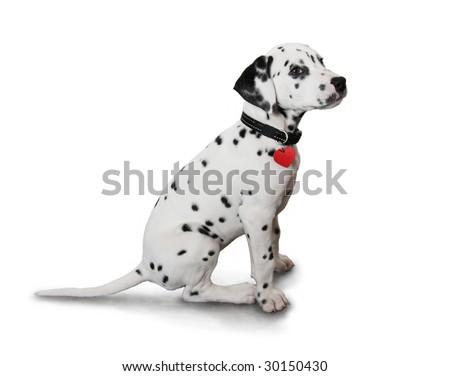 Cute Dalmatian Puppy - stock photo