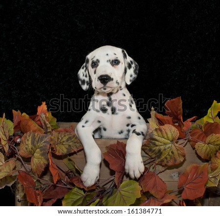 Cute Dalmation with fall decor and on a black background. - stock photo