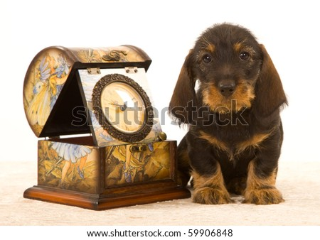 Cute Daschshund with clock on white background