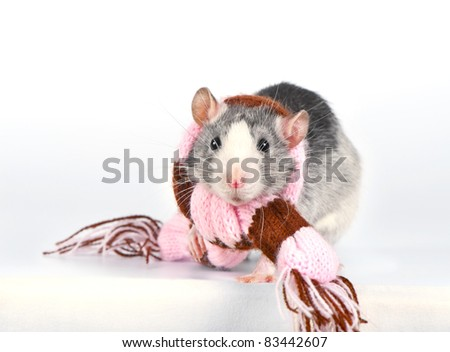 Cute decorative rat with woolen striped scarf close-up over white background - stock photo