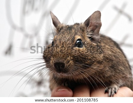 cute degu pet on the human hand closeup  - stock photo