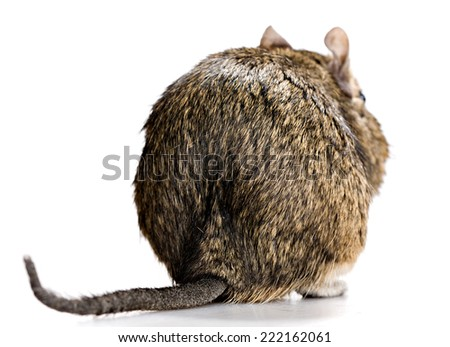 cute degu pet rear or back view, isolated on white - stock photo