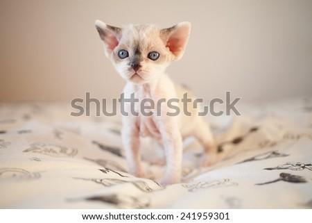Cute devon rex baby kitten - stock photo