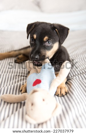 Cute Doberman Mix Puppy  on Striped White and Gray Sheets on Human Bed Chewing on Plush Bear Toy - stock photo