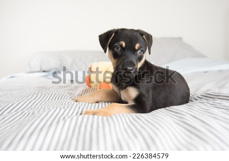 Cute Doberman Mix Puppy  on Striped White and Gray Sheets on Human Bed Looking at Camera - stock photo