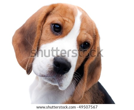 Cute dog. Beagle puppy looking curiously - stock photo