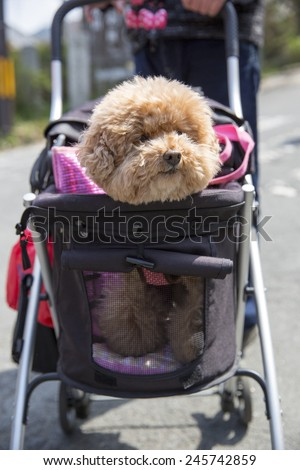 Cute dog being pushed in a stroller - stock photo