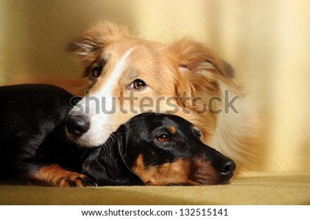 Cute dog border collie and dachshund dreaming in the sunlight at home - stock photo