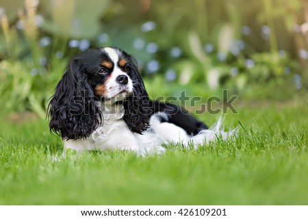 cute dog, cavalier spaniel on the grass