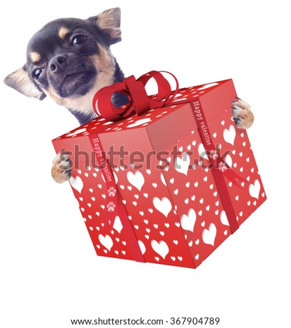 Cute dog chihuahua give a valentine gift - stock photo