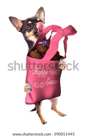 Cute dog chihuahua have a bag with chocolate Easter eggs between - stock photo