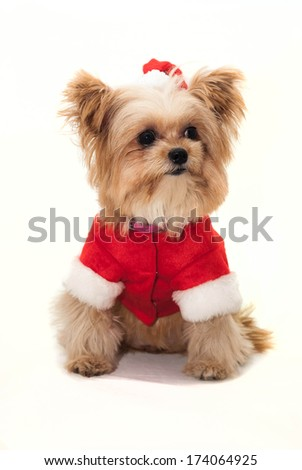 cute dog dress in christmas isolated in white background