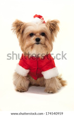 cute dog dressed in christmas outfit isolated in white background