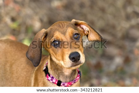 Cute dog face is an adorable brown puppy dog with big brown eyes and cute floppy ears looking right at you with wonder and curiosity. - stock photo