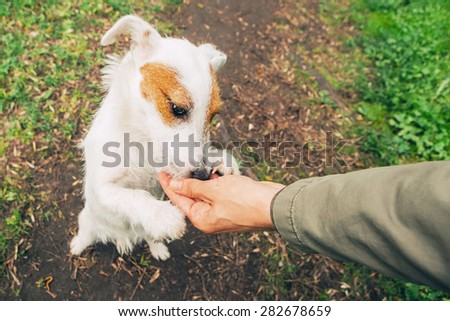 Cute dog funny Jack-Russell-terrier nature walking