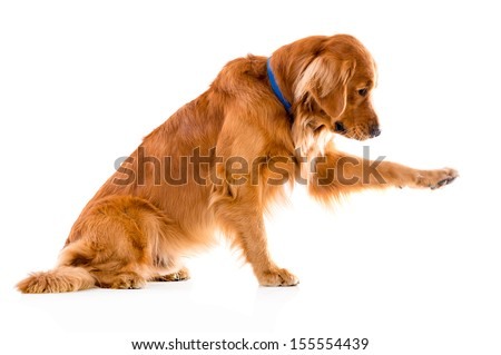 Cute dog giving his paw - isolated over a white background  - stock photo