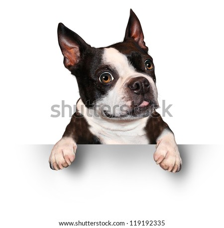 Cute dog holding a blank sign as a Boston Terrier with a smiling happy expression sending a message pertaining to pet care on a white background. - stock photo