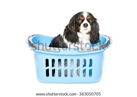 cute dog in blue basket isolated on white background