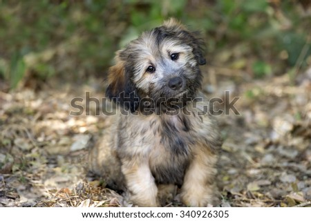 Cute dog is a beautiful fluffy puppy dog looking more as cute and adorable as a puppy dog can be. - stock photo