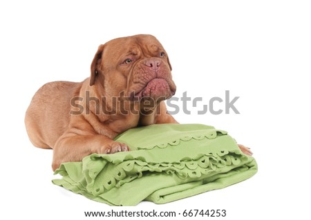 Cute dog is making funny face and going to sleep on green blanket isolated on white background - stock photo