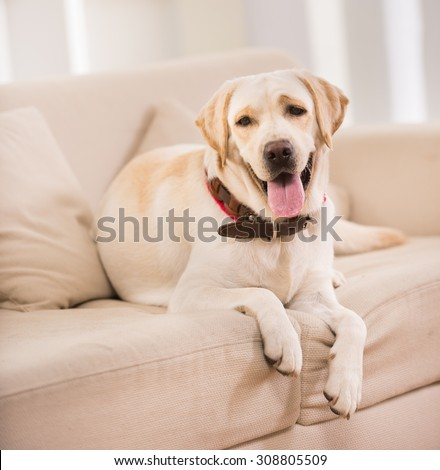 Cute dog is sitting on sofa at home. - stock photo