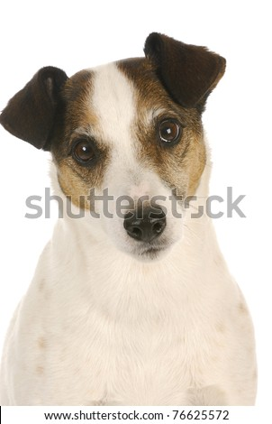 cute dog - jack russel terrier head portrait on white background