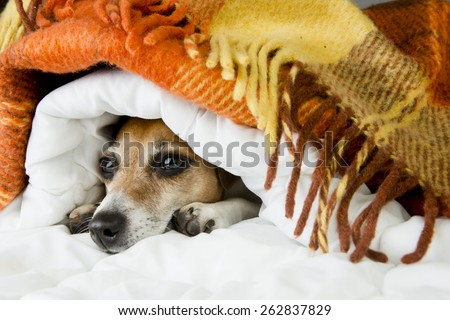 Cute dog Jack Russell terrier peeking out from under the soft warm blanket. Luxuriate in bed. Hiding from the cold - stock photo