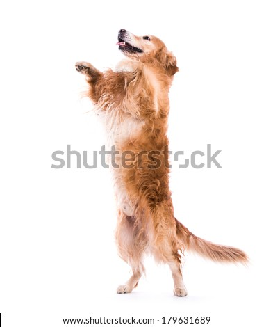 Cute dog jumping - isolated over a white backgorund - stock photo