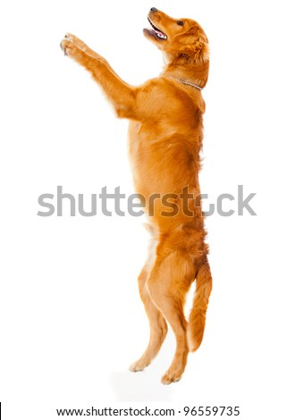 Cute dog jumping  - isolated over a white background - stock photo