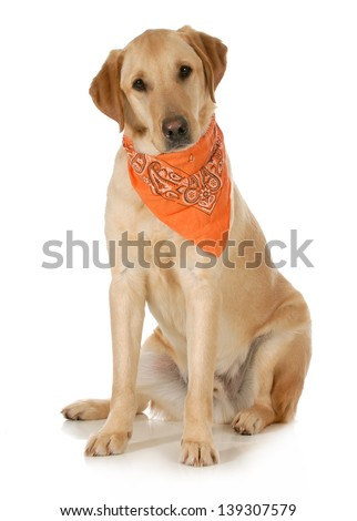 cute dog - labrador and golden retriever cross wearing orange bandana sitting looking at viewer on white background