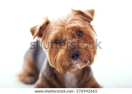 Cute dog lies on white background. Yorkshire Terrier  - stock photo
